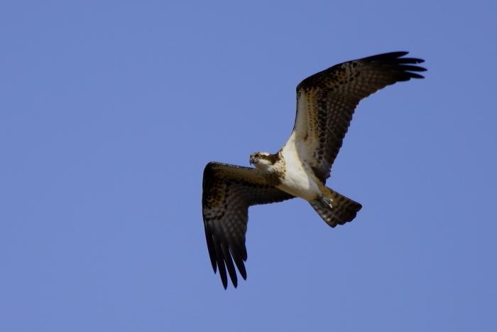 La expansión humana acorrala al águila pescadora de Canarias