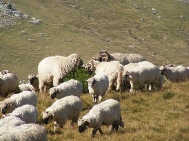 <p>Ovejas en Rumanía. / Pixabay</p>