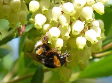 <p>De la flor del madroño se extrae una miel oscura y de sabor amargo. / Pixabay</p>