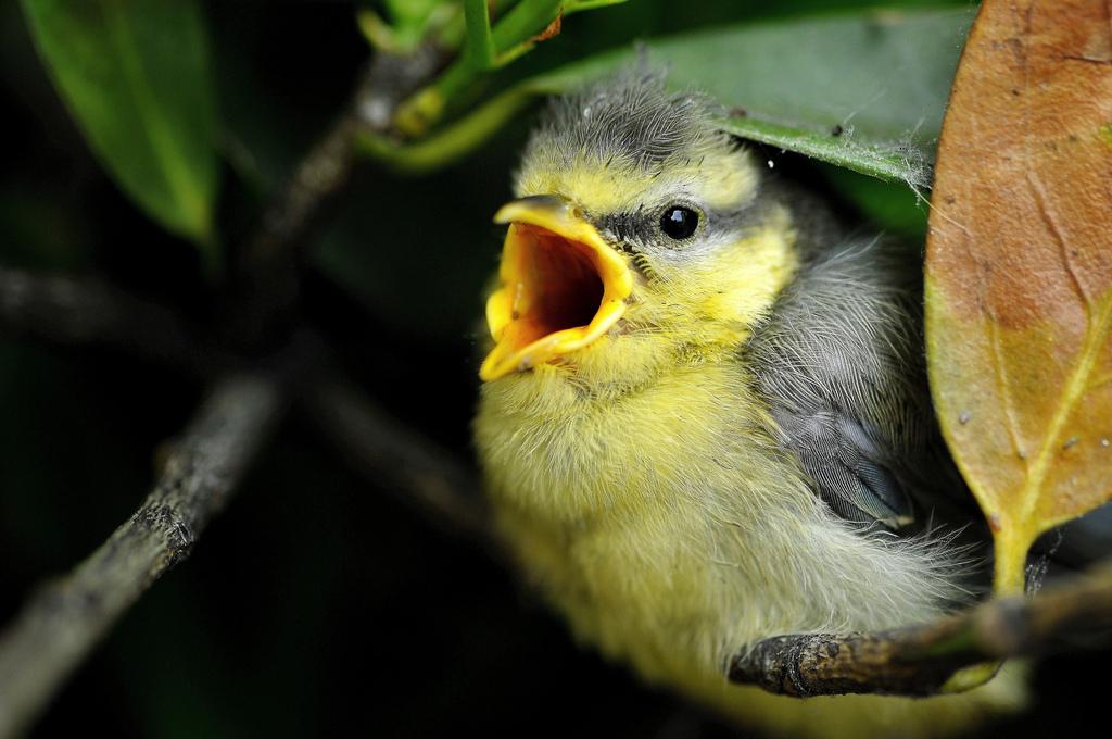 Los árboles envían señales de auxilio a las aves cuando los insectos les atacan