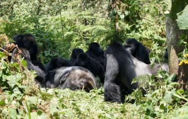 """Un grupo de gorilas de Grauer se reúne alrededor del cuerpo de un gorila macho en el bosque del Parque Nacional Kahuzi-Biega. / <a href=""""/www.gorillafund.org"""" target=""""_blank"""" rel="""