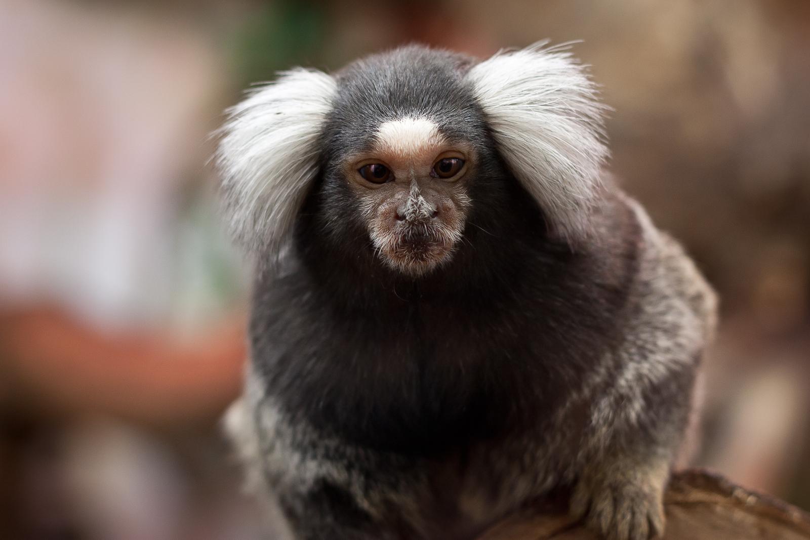 Los monos titíes respetan el turno de palabra durante las conversaciones