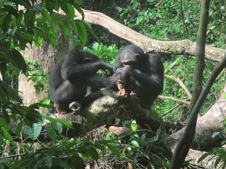 Los-primates-eligen-su-companero-de-aseo-dependiendo-del-contexto-social