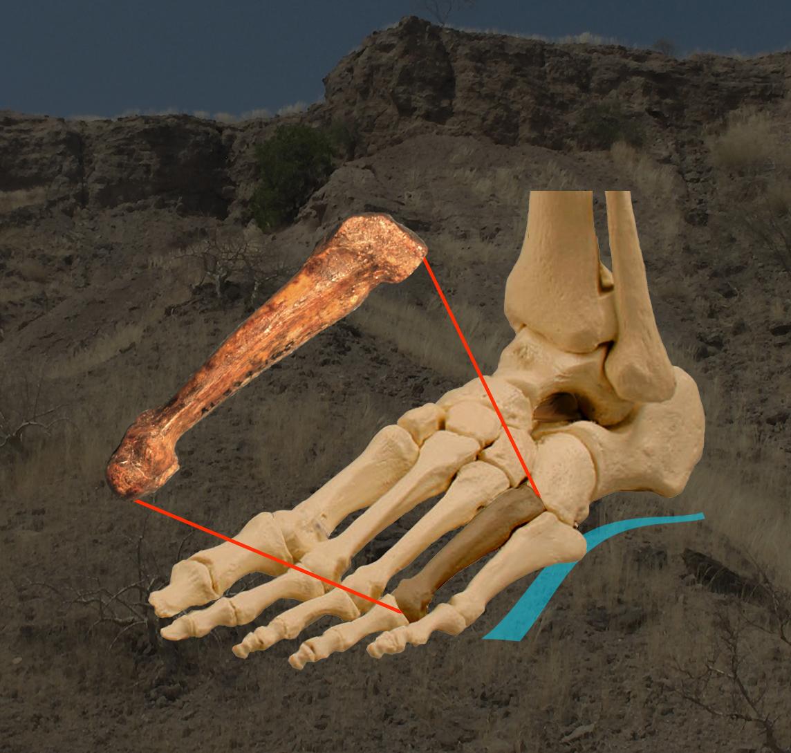 Lucy\' tenía los pies arqueados como el humano moderno / Noticias / SINC