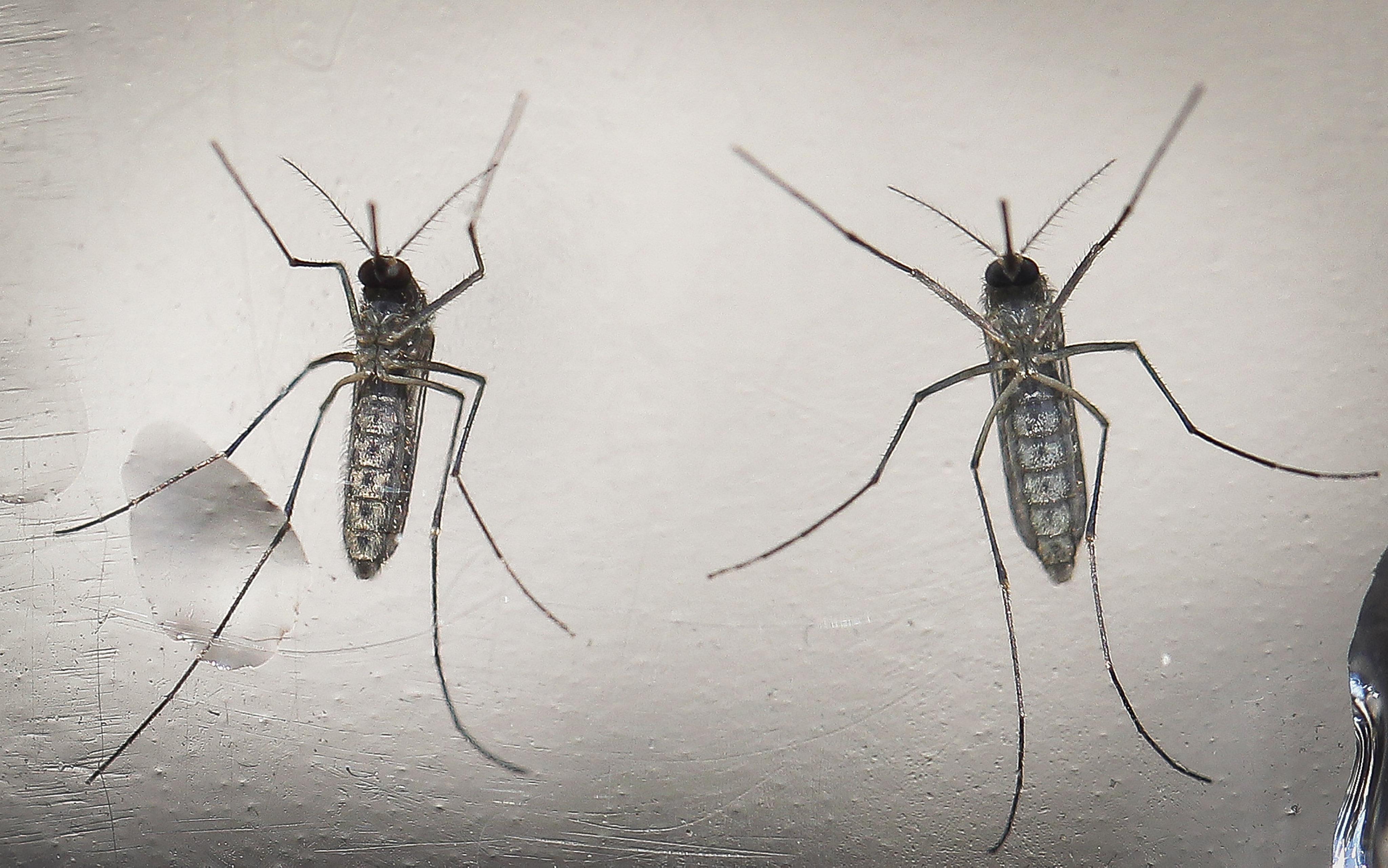 Mosquitos con genes editados para erradicar el zika
