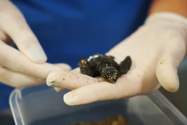 https://www.agenciasinc.es/var/ezwebin_site/storage/images/noticias/nacen-en-el-oceanografic-nueve-tortugas-de-los-huevos-hallados-en-castellon/6555736-1-esl-MX/Nacen-en-el-Oceanografic-nueve-tortugas-de-los-huevos-hallados-en-Castellon_image_380.jpg