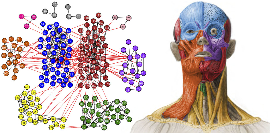Primera estructura modular anatómica de la cabeza humana / Noticias ...