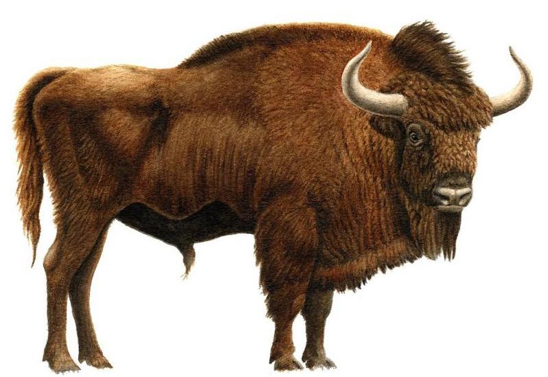 Recuperan el cráneo de un bisonte de la Edad del Hielo en una cueva de Ribadesella