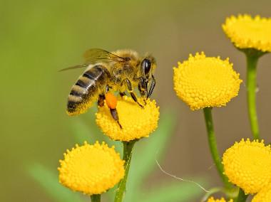 <p>Abeja polinizando una flor / Universidad de Vic</p>