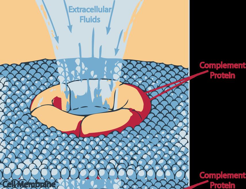 Resuelta la estructura de un complejo proteico esencial en la defensa contra las infecciones bacterianas