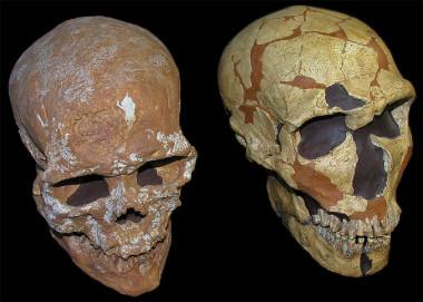 <p>Cráneos de<em>Homo sapiens</em>(izquierda) y<em>Homo neanderthalensis</em>(derecha) / Grupo de Paleoantropología (MNCN-CSIC)</p>