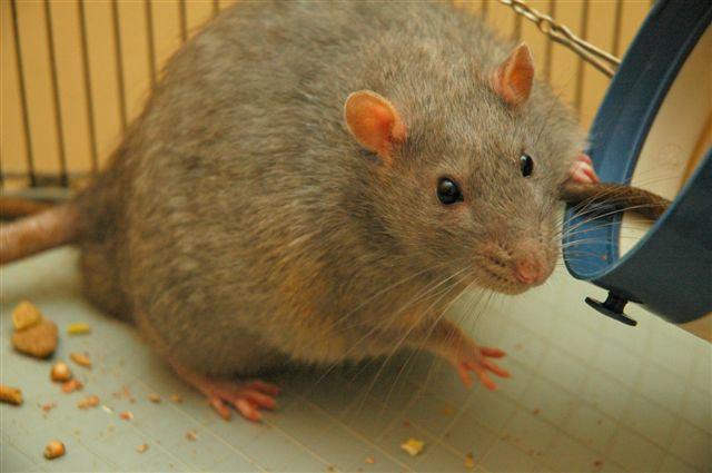 Un estudio demuestra en ratas que la melatonina ayuda a regular la obesidad
