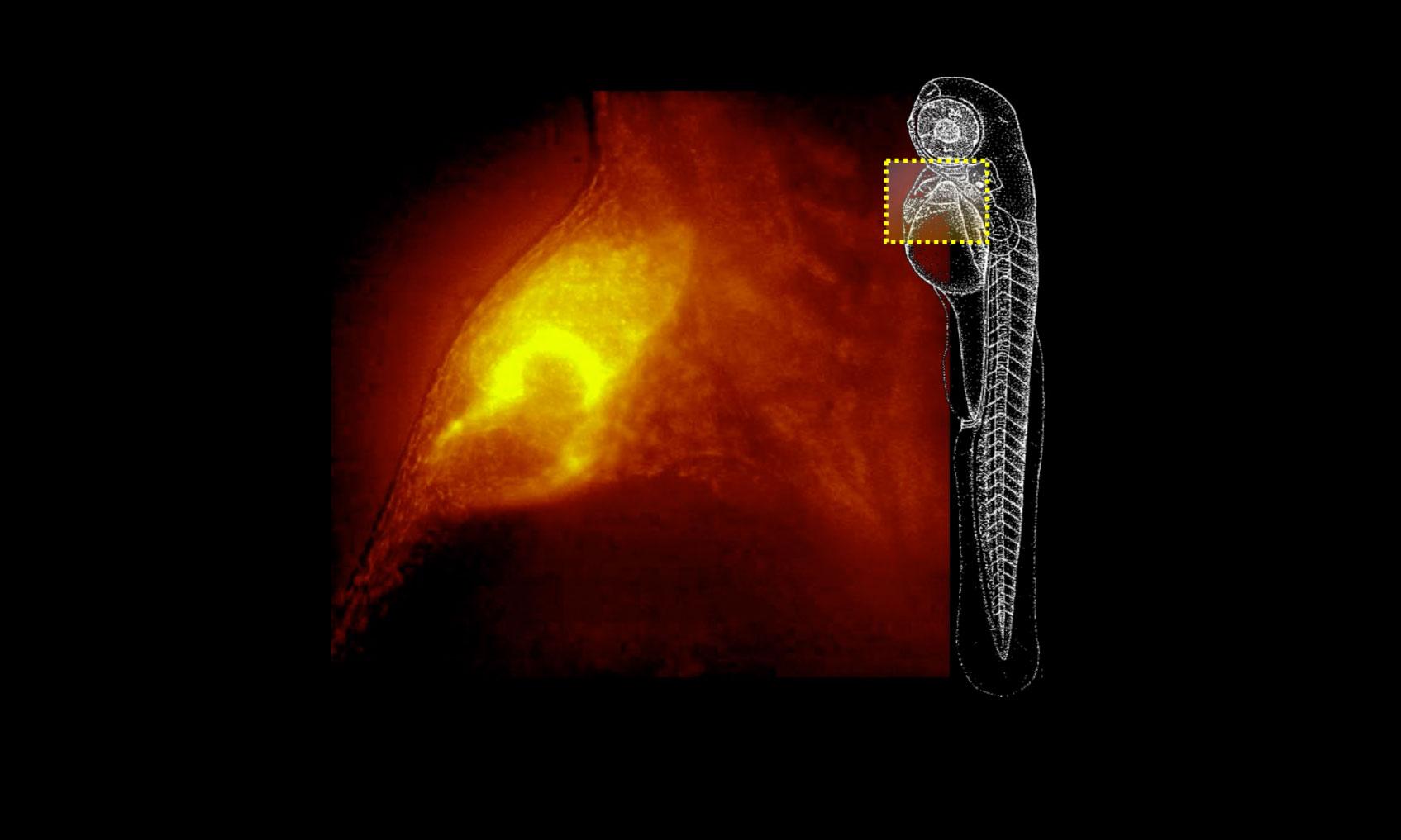 un microscopio extrae imágenes 3d de organismos vivos en movimiento