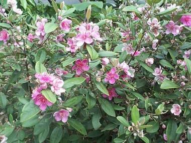 "<p/>Rhodomyrtus tormentosa"" /><span style="