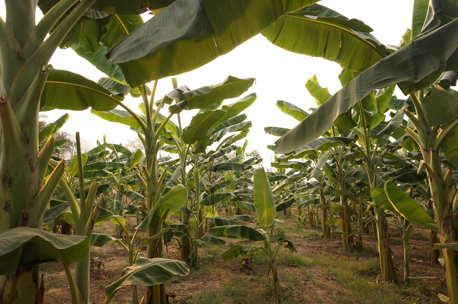 Un nuevo método impide el crecimiento de un hongo que afecta a los cultivos