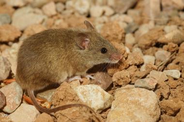 """<p/>Los científicos de la UCO tomaron muestras de hígado y riñón de ejemplares de ratón moruno capturados en el centro del Parque Nacional de Doñana. / Flickr"""" /><span style="""