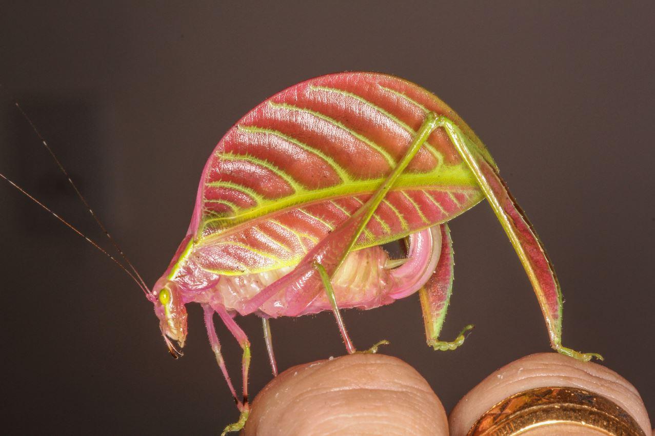 Un saltamontes con forma de hoja, entre las especies más curiosas de ...