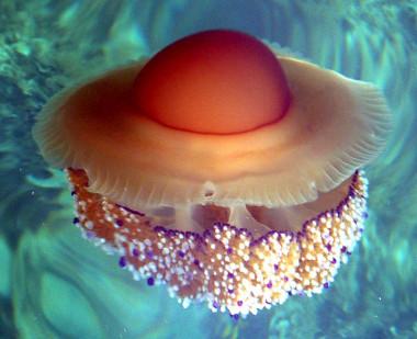 <p/>Medusa aguacuajada del mar Adriático. / T.Friedrich / <a href=