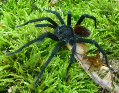 "<p/>Macho de la nueva especiey género de tarántula, <em>Kankuamo marquezi</em>, en su hábitat natural /Dirk Weinmann"" /><span style="