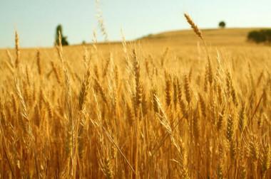 <p>El autor señala que la decisión de la UE puede llevar a depender más de las importaciones como ya pasa con el maíz y el trigo que son, además, transgénicos, minando aún más las posibilidades del sector agronómico europeo. / Thokrates</p>