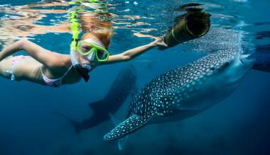 <p>EnOslob, en la isla filipina de Cebu, los tiburones ballena son alimentados para que los turistas naden junto a ellos. / ©Adobe Stock</p>