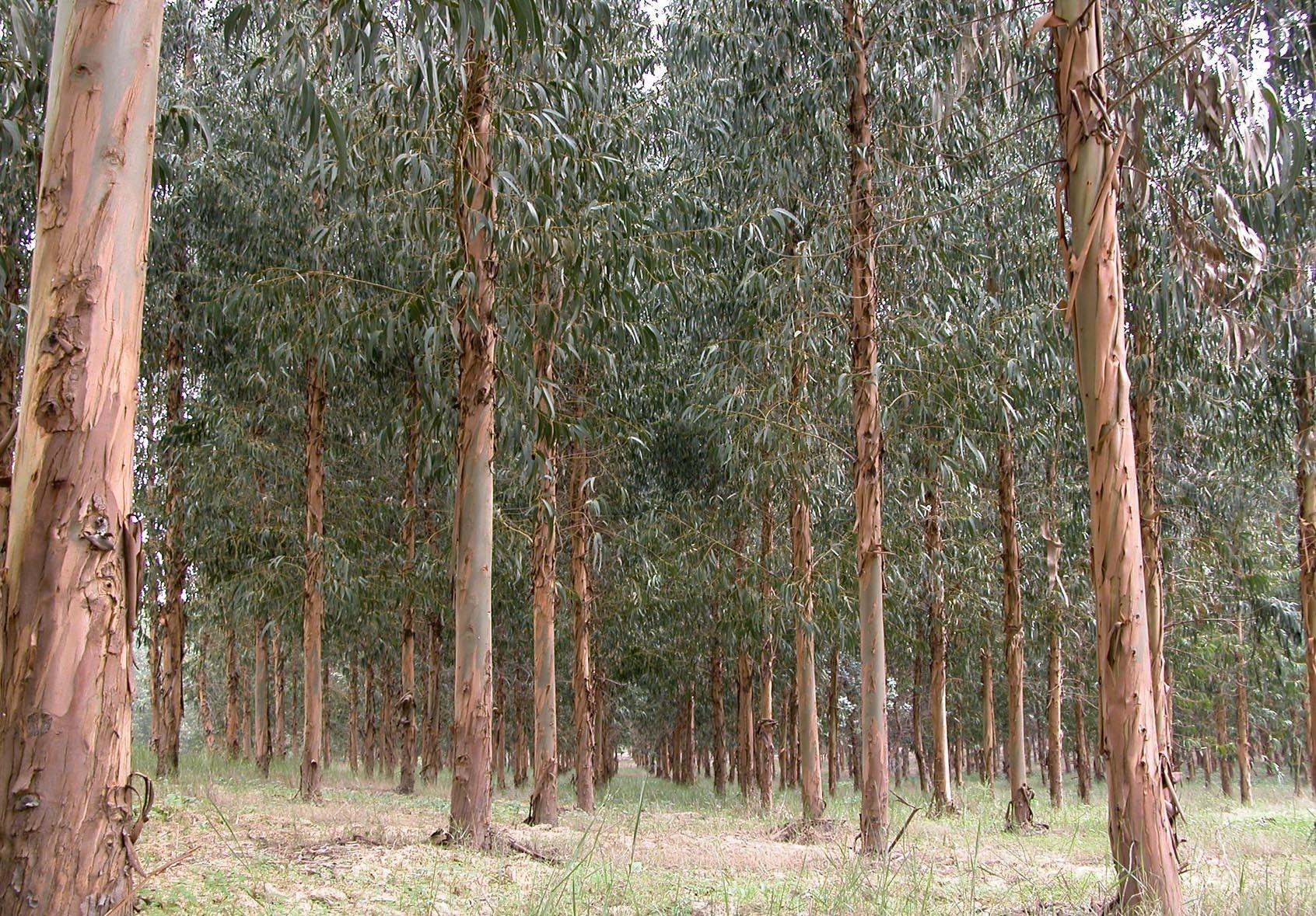 Resultado de imagen para eucaliptos plantacion
