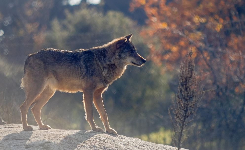 ¿Pueden convivir el lobo y el ganado?